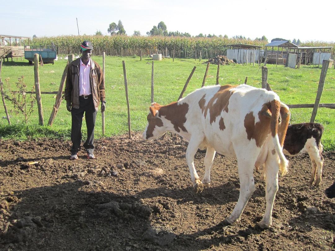 Vacas de la escuela