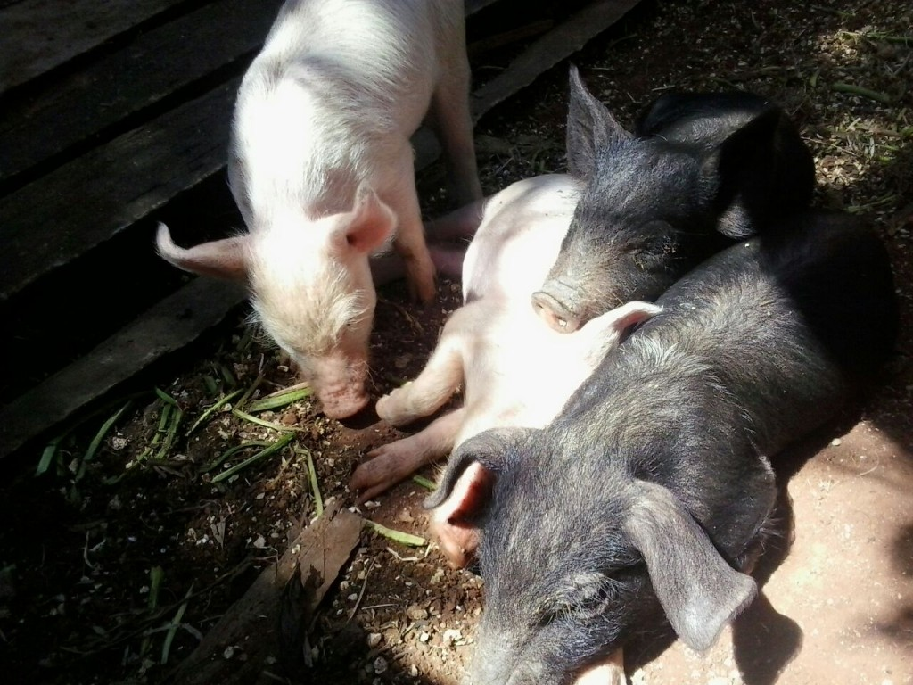 Crias de cerdos